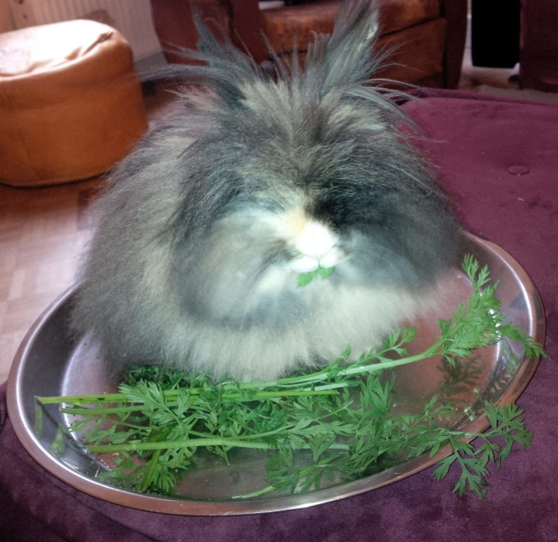 vivre avec lapin angora